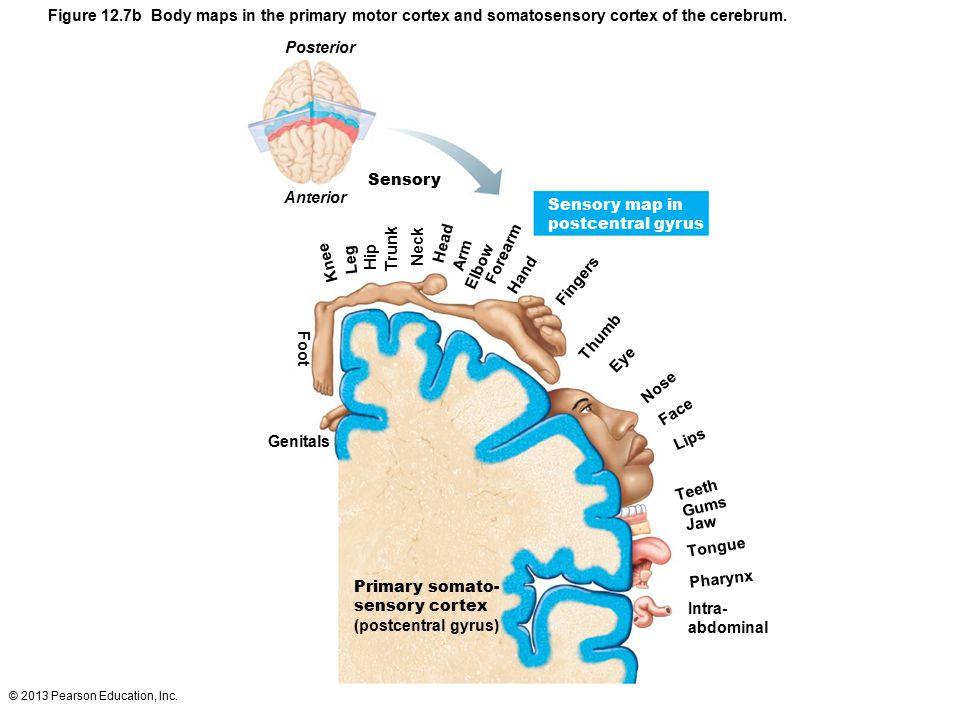 © 2013 Pearson Education, Inc. Figure 12.7b Body maps in the primary motor cortex and somatosensory cortex of the cerebrum. Posterior Sensory Anterior