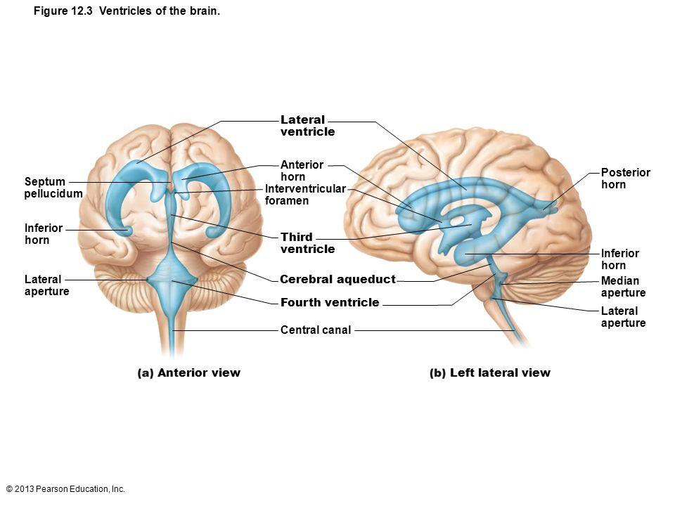 © 2013 Pearson Education, Inc. Figure 12.3 Ventricles of the brain. Septum pellucidum Inferior horn Lateral aperture Lateral ventricle Anterior horn I