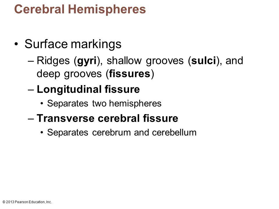 © 2013 Pearson Education, Inc. Cerebral Hemispheres Surface markings –Ridges (gyri), shallow grooves (sulci), and deep grooves (fissures) –Longitudina