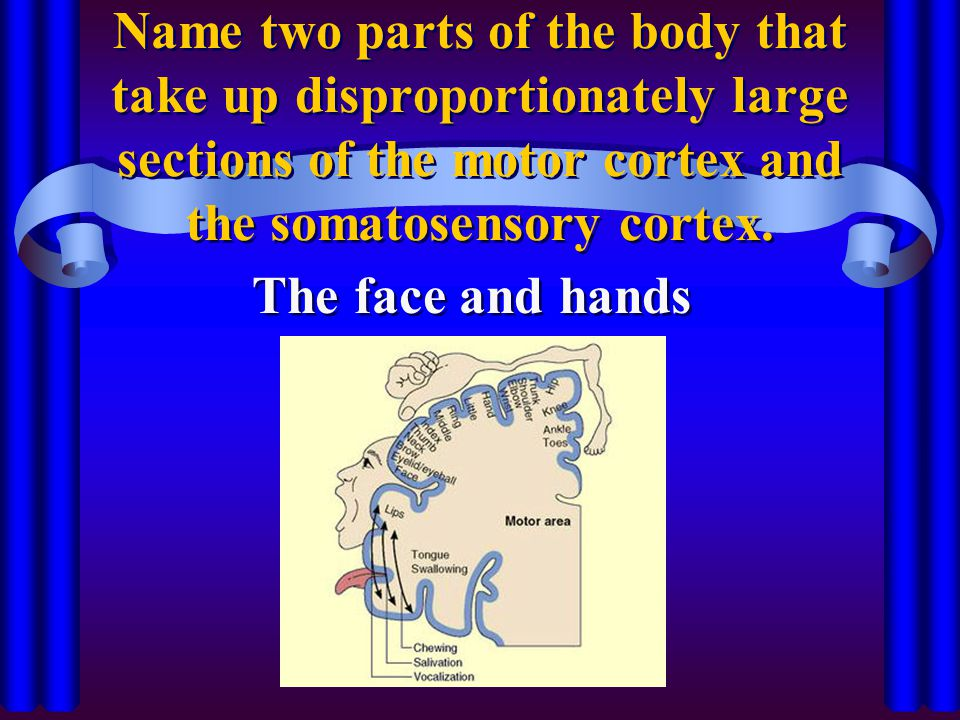 Name two parts of the body that take up disproportionately large sections of the motor cortex and the somatosensory cortex. The face and hands