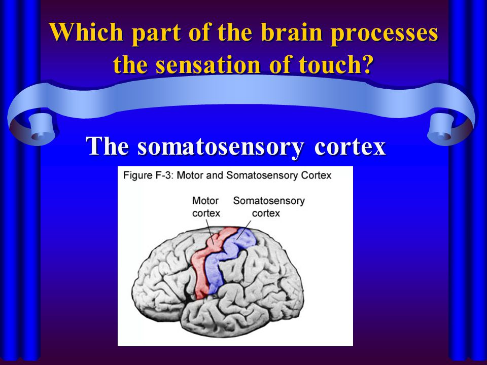 Which part of the brain processes the sensation of touch? The somatosensory cortex