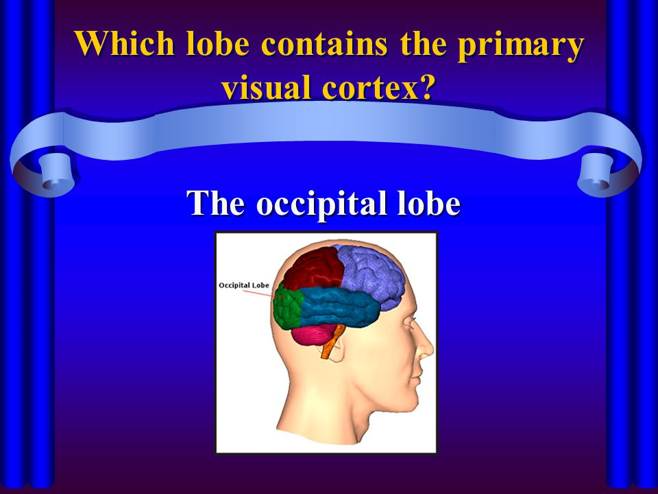 Which lobe contains the primary visual cortex? The occipital lobe