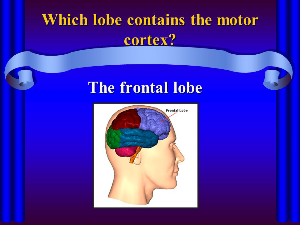Which lobe contains the motor cortex? The frontal lobe