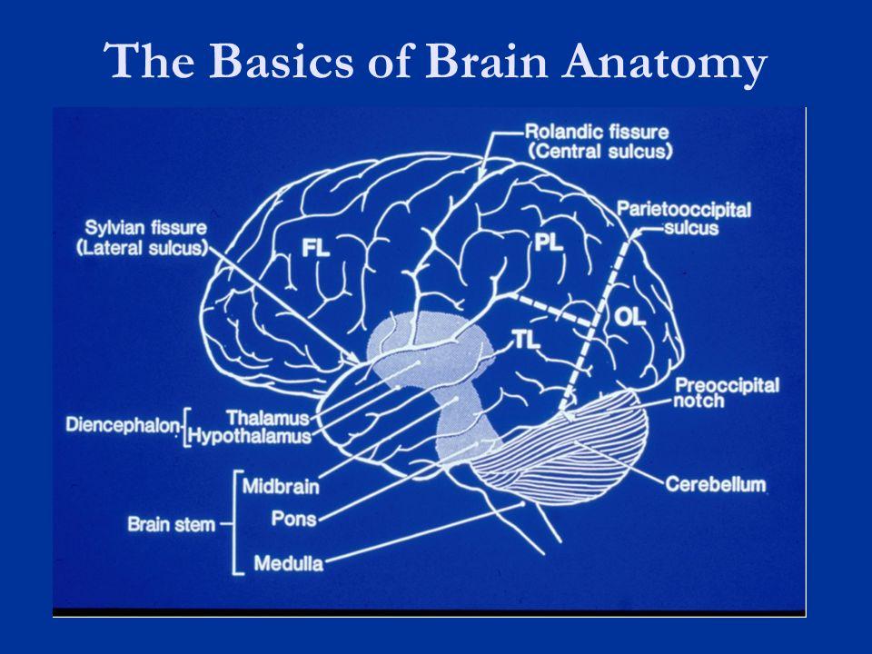 The Basics of Brain Anatomy