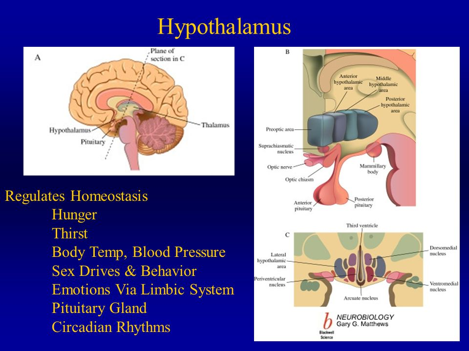 Neuroanatomy of Hypothalamus Know the names of the nuclei on both sections –Periventricular, medial and lateral –Preoptic anterior, middle and posterior