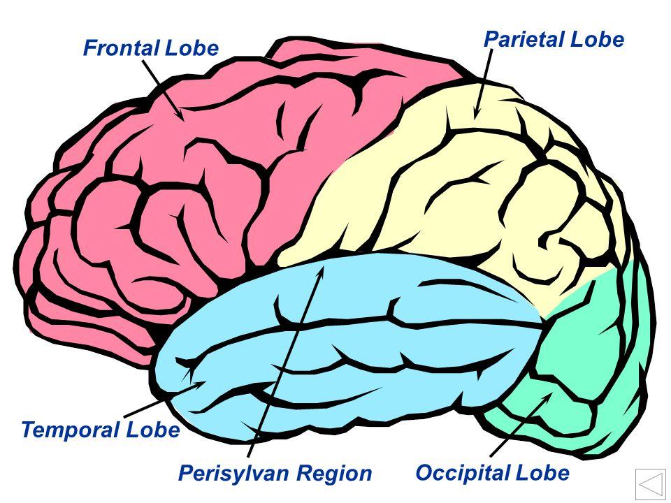 28 Occipital Lobe Perisylvan Region Temporal Lobe Frontal Lobe Parietal Lobe