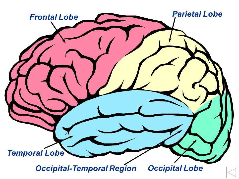 30 Occipital Lobe Occipital-Temporal Region Temporal Lobe Frontal Lobe Parietal Lobe