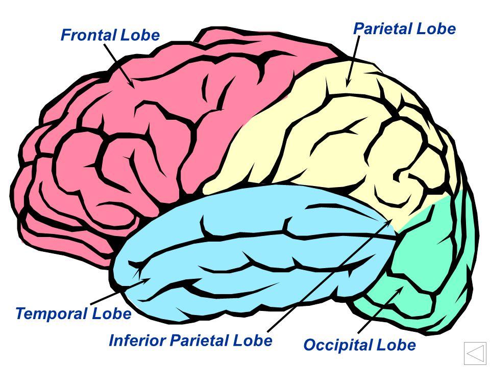 32 Occipital Lobe Inferior Parietal Lobe Temporal Lobe Frontal Lobe Parietal Lobe