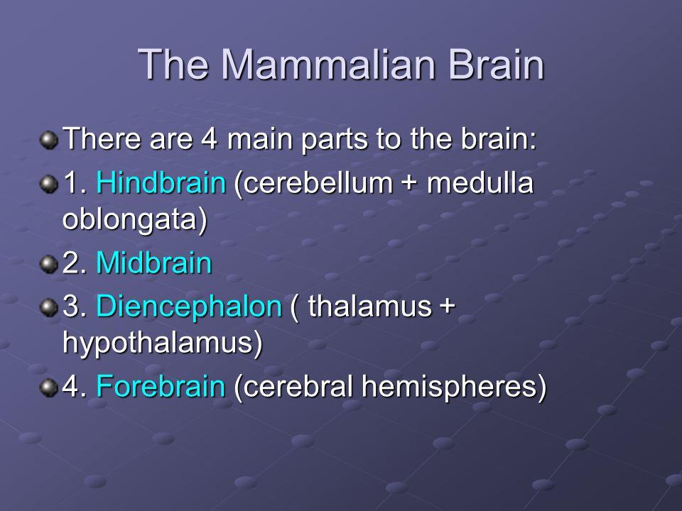 The Mammalian Brain There are 4 main parts to the brain: 1. Hindbrain (cerebellum + medulla oblongata) 2. Midbrain 3. Diencephalon ( thalamus + hypoth