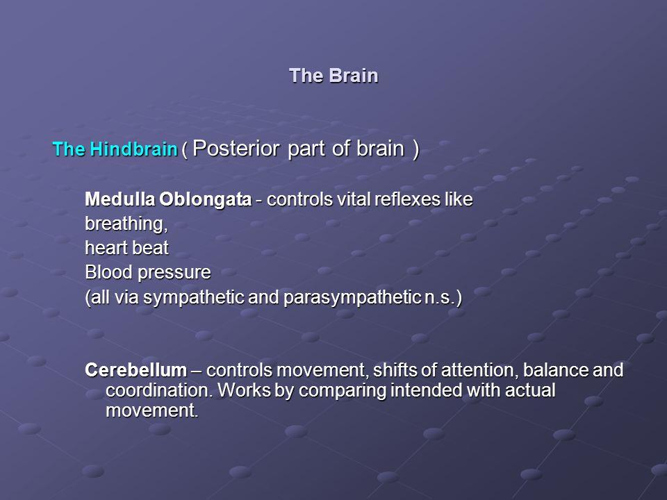 The Brain The Hindbrain ( Posterior part of brain ) Medulla Oblongata - controls vital reflexes like breathing, heart beat Blood pressure (all via sym