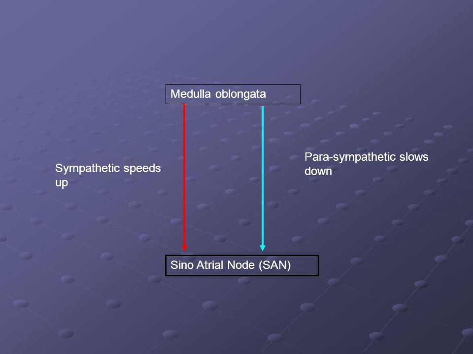 Medulla oblongata Sino Atrial Node (SAN) Sympathetic speeds up Para-sympathetic slows down