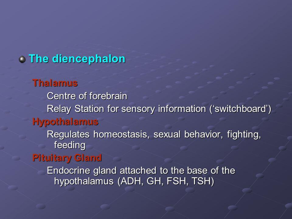 The diencephalon Thalamus Centre of forebrain Relay Station for sensory information ('switchboard') Hypothalamus Regulates homeostasis, sexual behavio