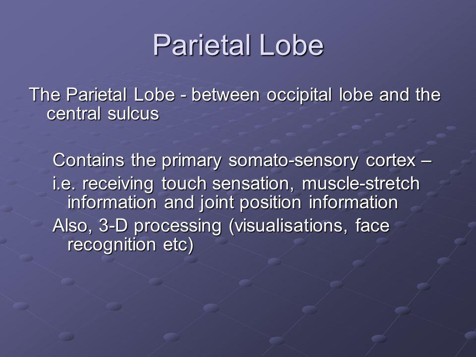 Parietal Lobe The Parietal Lobe - between occipital lobe and the central sulcus Contains the primary somato-sensory cortex – i.e. receiving touch sens