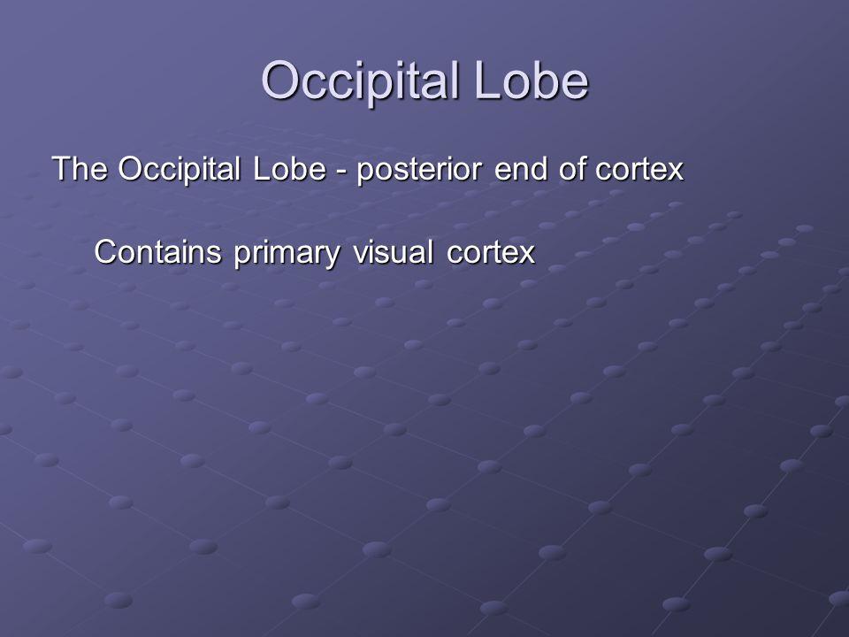 Occipital Lobe The Occipital Lobe - posterior end of cortex Contains primary visual cortex