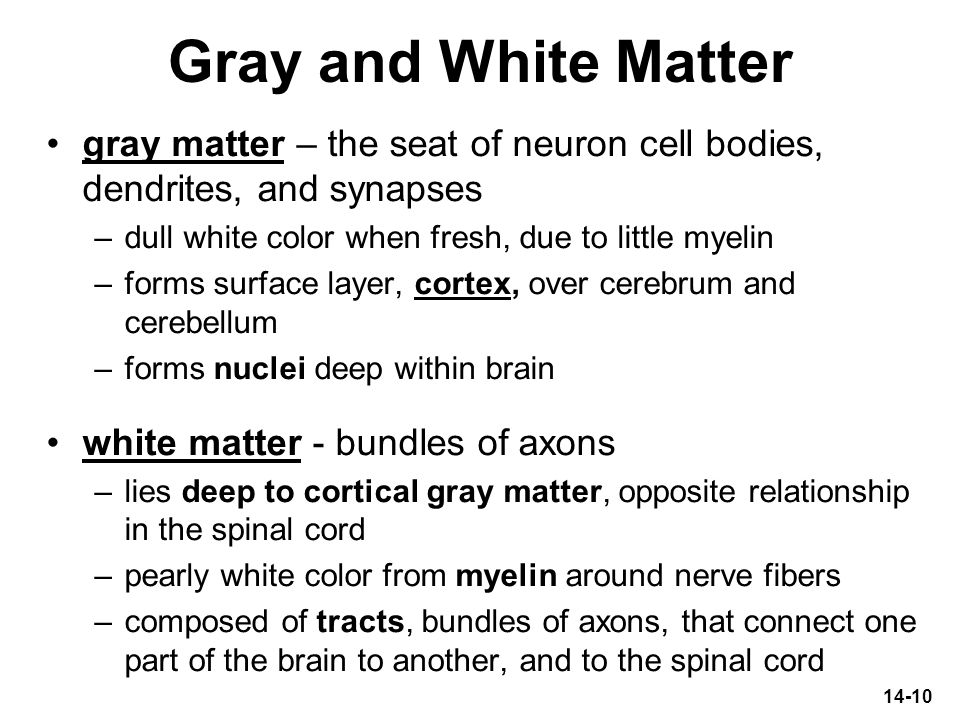 14-10 Gray and White Matter gray matter – the seat of neuron cell bodies, dendrites, and synapses –dull white color when fresh, due to little myelin –
