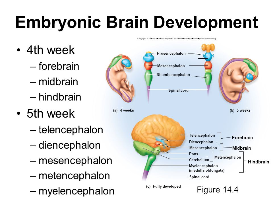 14-12 Embryonic Brain Development Copyright © The McGraw-Hill Companies, Inc. Permission required for reproduction or display. Diencephalon Mesencepha