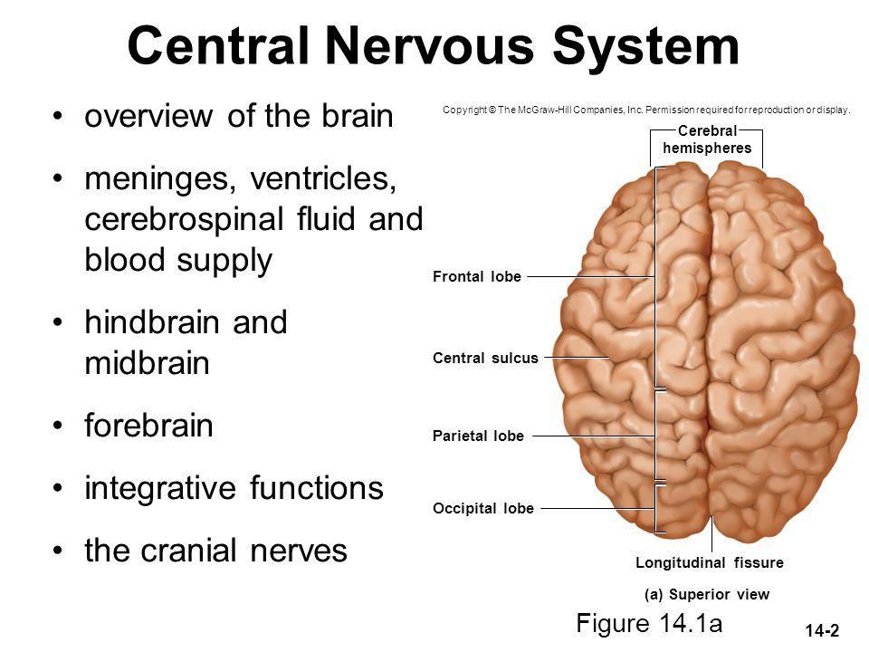 14-2 Central Nervous System overview of the brain meninges, ventricles, cerebrospinal fluid and blood supply hindbrain and midbrain forebrain integrat