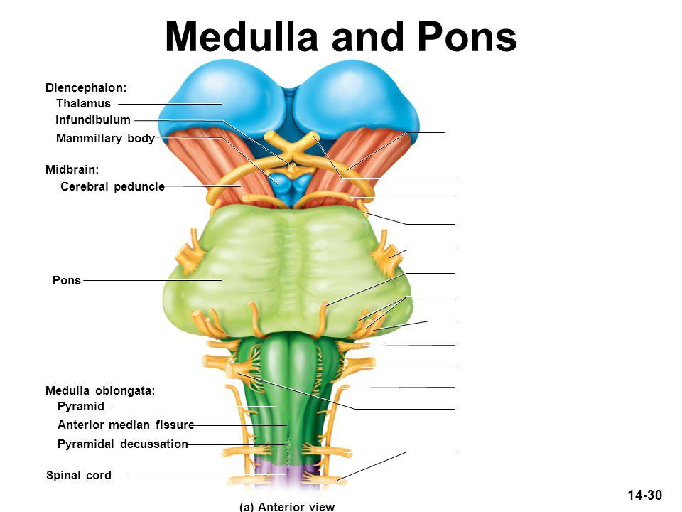 14-30 Medulla and Pons Diencephalon: Midbrain: Thalamus Infundibulum Mammillary body Cerebral peduncle Pyramid Anterior median fissure Pyramidal decus