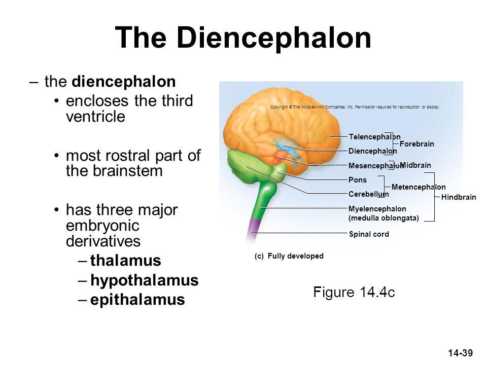 14-39 The Diencephalon Diencephalon Mesencephalon Telencephalon Forebrain Pons Cerebellum Metencephalon Spinal cord Hindbrain (c) Fully developed Midb
