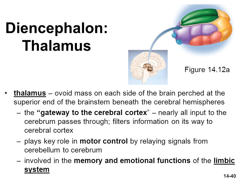 14-40 Diencephalon: Thalamus thalamus – ovoid mass on each side of the brain perched at the superior end of the brainstem beneath the cerebral hemisph