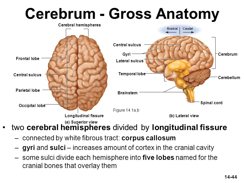 14-44 Cerebrum - Gross Anatomy two cerebral hemispheres divided by longitudinal fissure –connected by white fibrous tract: corpus callosum –gyri and s