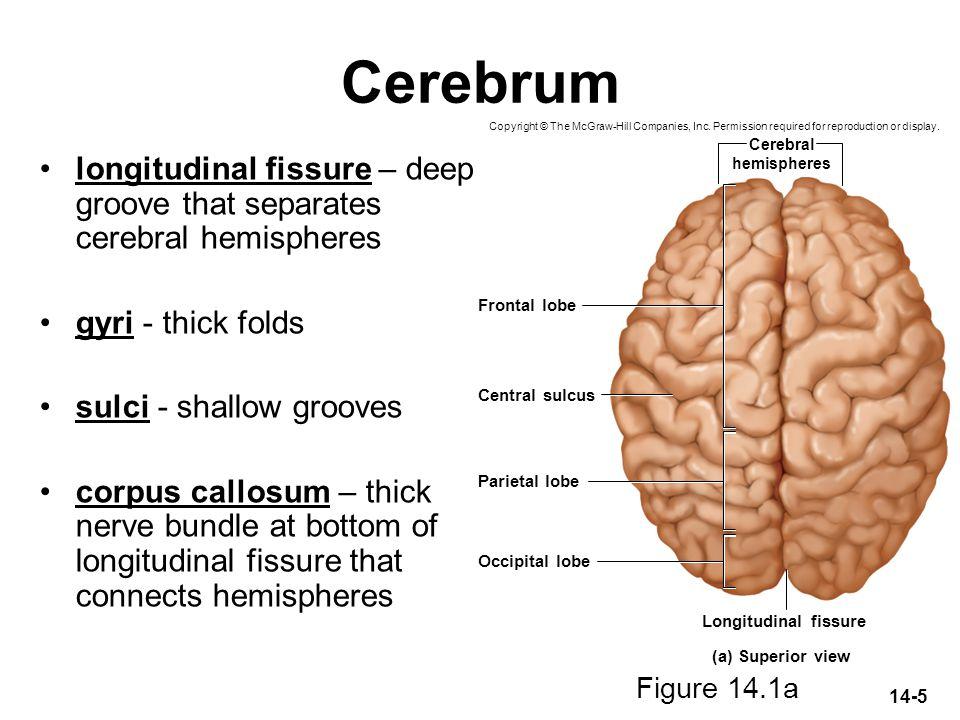 14-5 Cerebrum longitudinal fissure – deep groove that separates cerebral hemispheres gyri - thick folds sulci - shallow grooves corpus callosum – thic