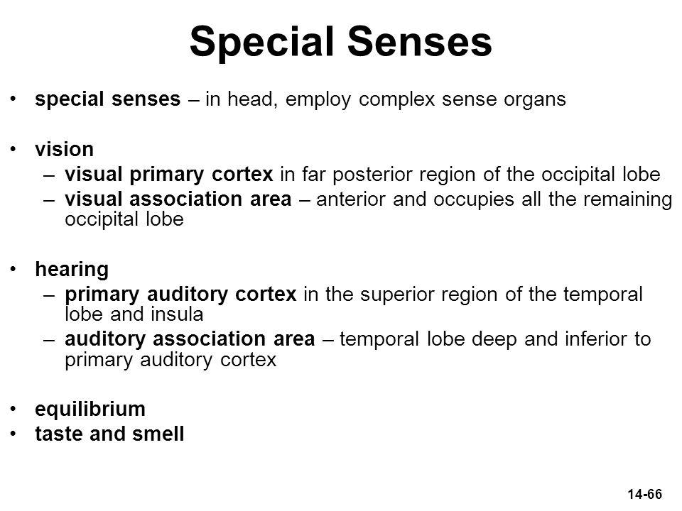 14-66 Special Senses special senses – in head, employ complex sense organs vision –visual primary cortex in far posterior region of the occipital lobe