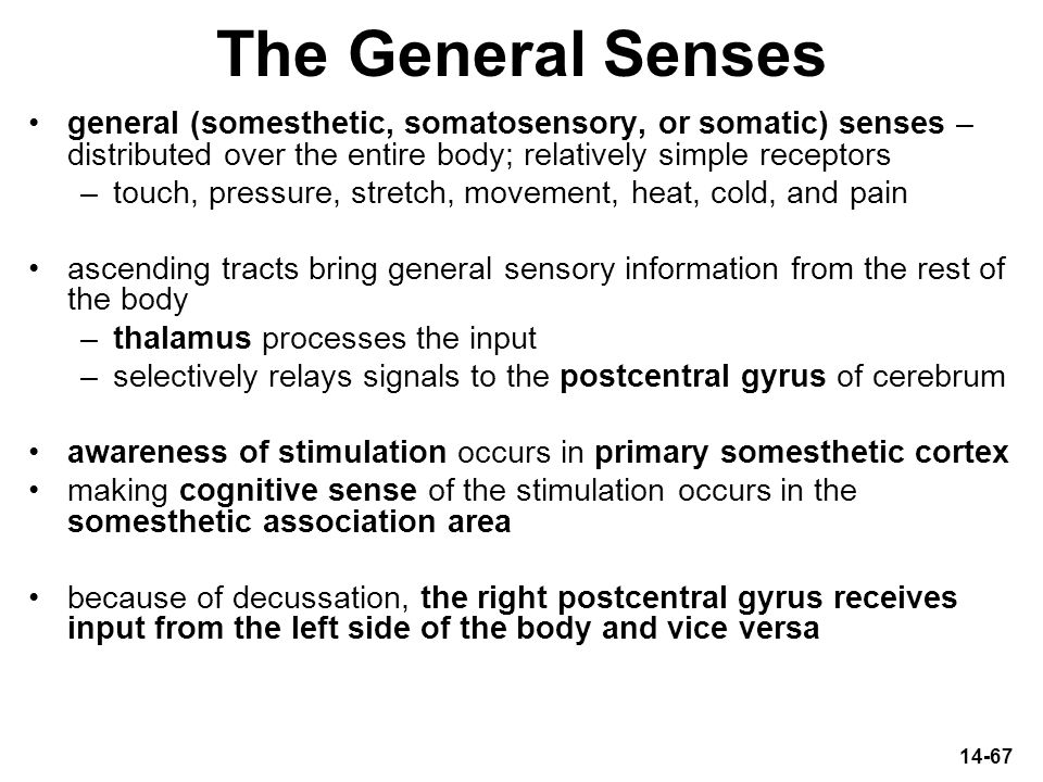 14-67 The General Senses general (somesthetic, somatosensory, or somatic) senses – distributed over the entire body; relatively simple receptors –touc