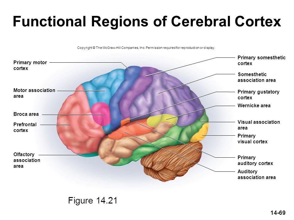 14-69 Functional Regions of Cerebral Cortex Wernicke area Broca area Primary motor cortex Motor association area Prefrontal cortex Olfactory associati