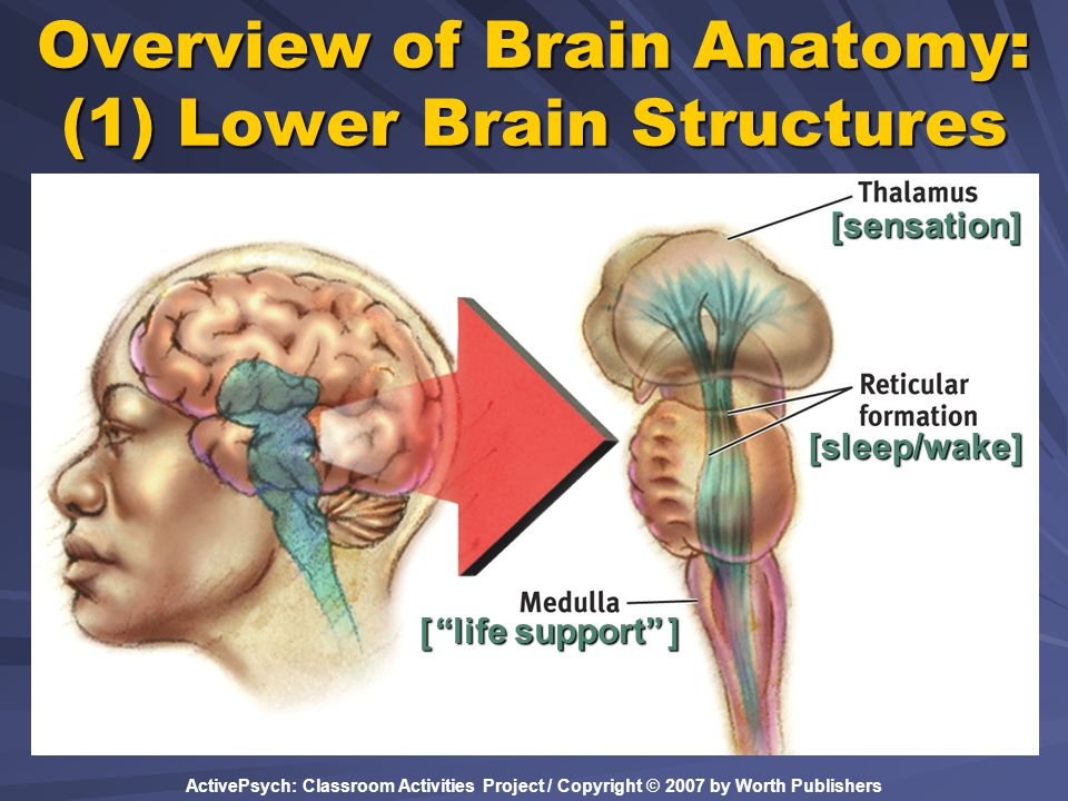 "ActivePsych: Classroom Activities Project / Copyright © 2007 by Worth Publishers Overview of Brain Anatomy: (1) Lower Brain Structures [ ""life support"