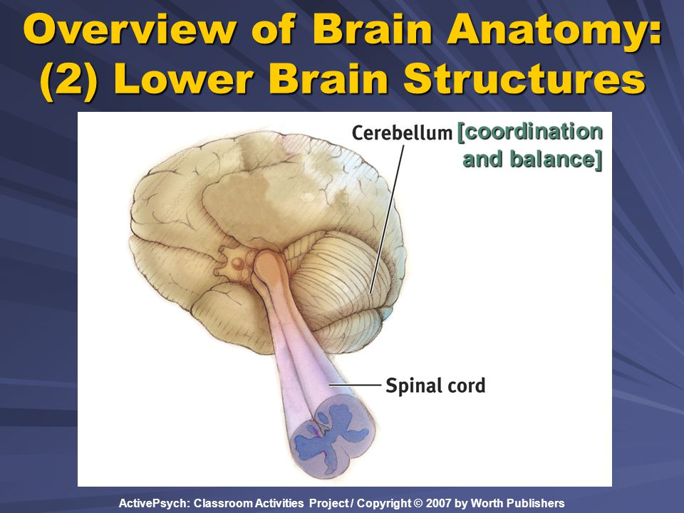 ActivePsych: Classroom Activities Project / Copyright © 2007 by Worth Publishers Overview of Brain Anatomy: (2) Lower Brain Structures [coordination a