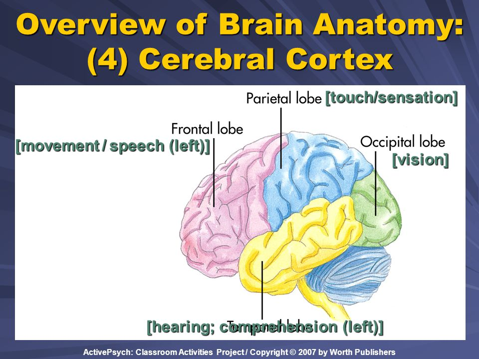 ActivePsych: Classroom Activities Project / Copyright © 2007 by Worth Publishers Overview of Brain Anatomy: (4) Cerebral Cortex [vision][touch/sensati
