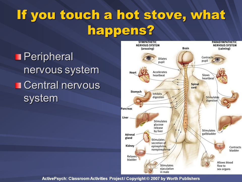If you touch a hot stove, what happens? Peripheral nervous system Central nervous system