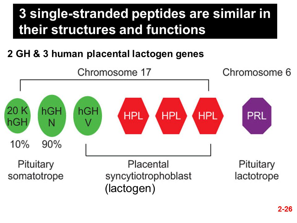 2-26 3 single-stranded peptides are similar in their structures and functions (lactogen) 2 GH & 3 human placental lactogen genes