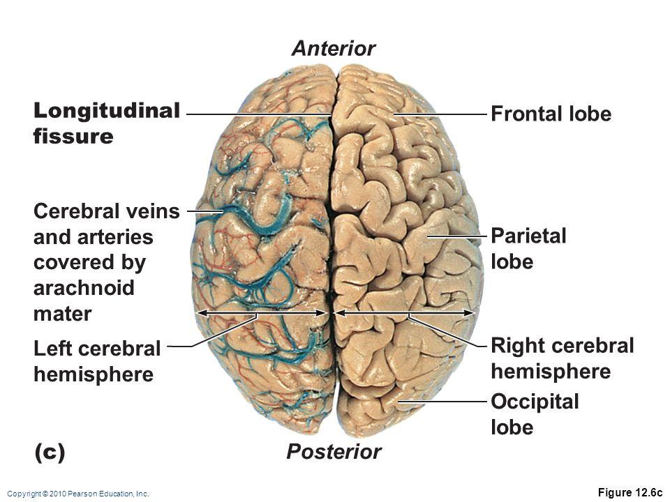 Copyright © 2010 Pearson Education, Inc. Figure 12.6c Parietal lobe Frontal lobe Right cerebral hemisphere Occipital lobe Left cerebral hemisphere Cer