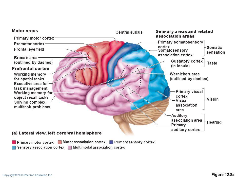 Copyright © 2010 Pearson Education, Inc. Figure 12.8a Gustatory cortex (in insula) Primary motor cortex Premotor cortex Frontal eye field Working memo