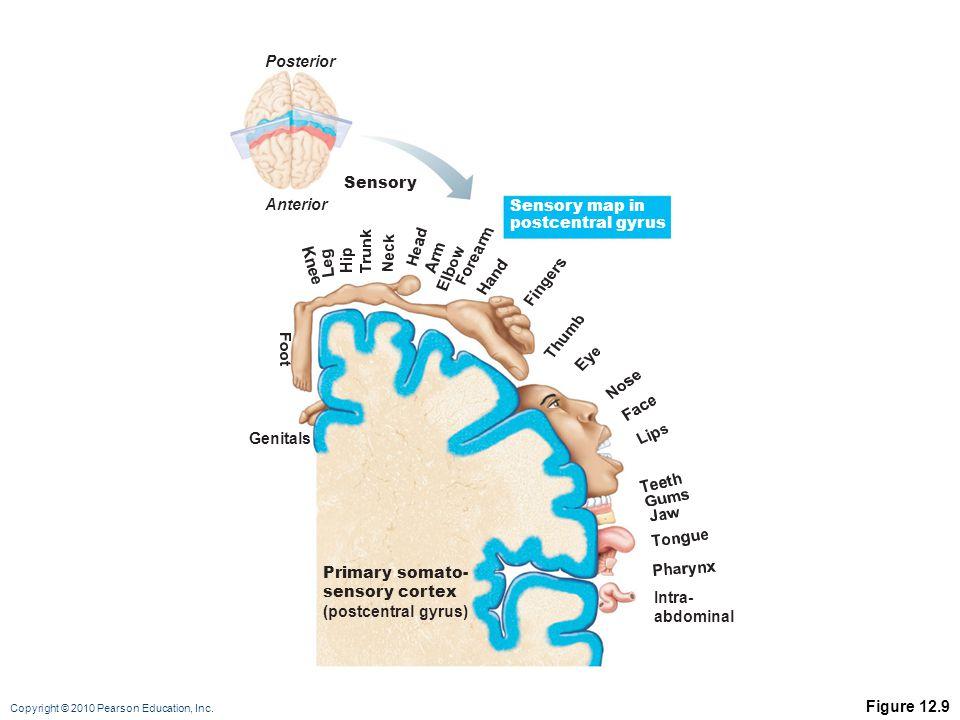 Copyright © 2010 Pearson Education, Inc. Figure 12.9 Genitals Intra- abdominal Primary somato- sensory cortex (postcentral gyrus) Sensory Sensory map