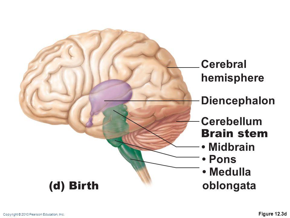 Copyright © 2010 Pearson Education, Inc. Figure 12.3d Cerebellum Diencephalon Cerebral hemisphere (d) Birth Brain stem Midbrain Pons Medulla oblongata