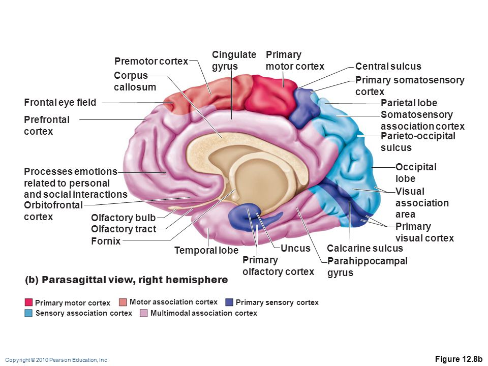 Copyright © 2010 Pearson Education, Inc. Figure 12.8b Frontal eye field Prefrontal cortex Processes emotions related to personal and social interactio