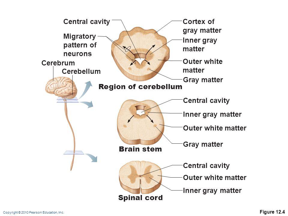 Copyright © 2010 Pearson Education, Inc. Figure 12.4 Cerebrum Cerebellum Migratory pattern of neurons Cortex of gray matter Inner gray matter Gray mat