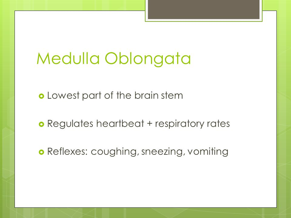 Medulla Oblongata  Lowest part of the brain stem  Regulates heartbeat + respiratory rates  Reflexes: coughing, sneezing, vomiting