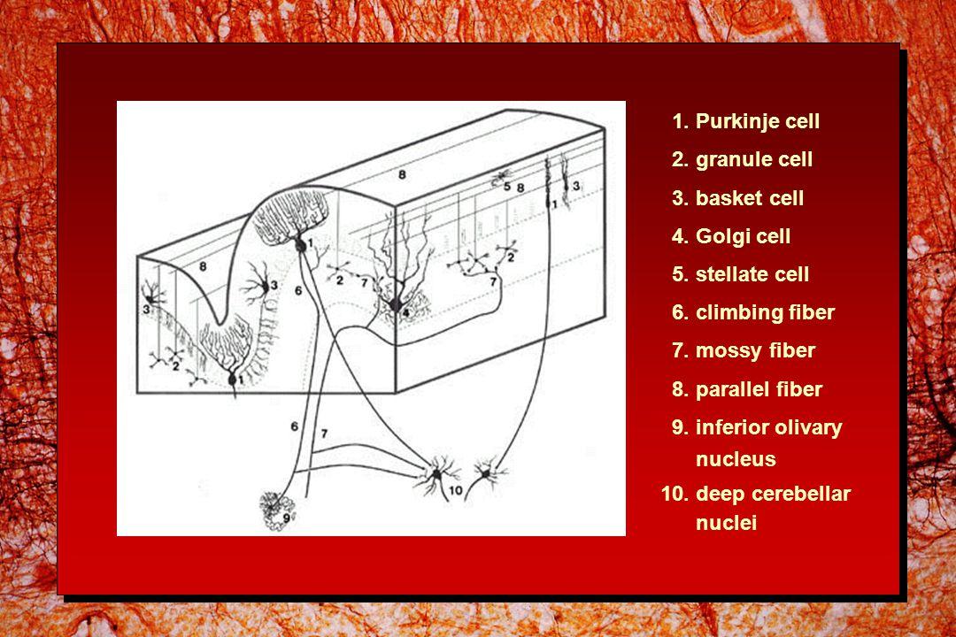 1.Purkinje cell 2. granule cell 3. basket cell 4.