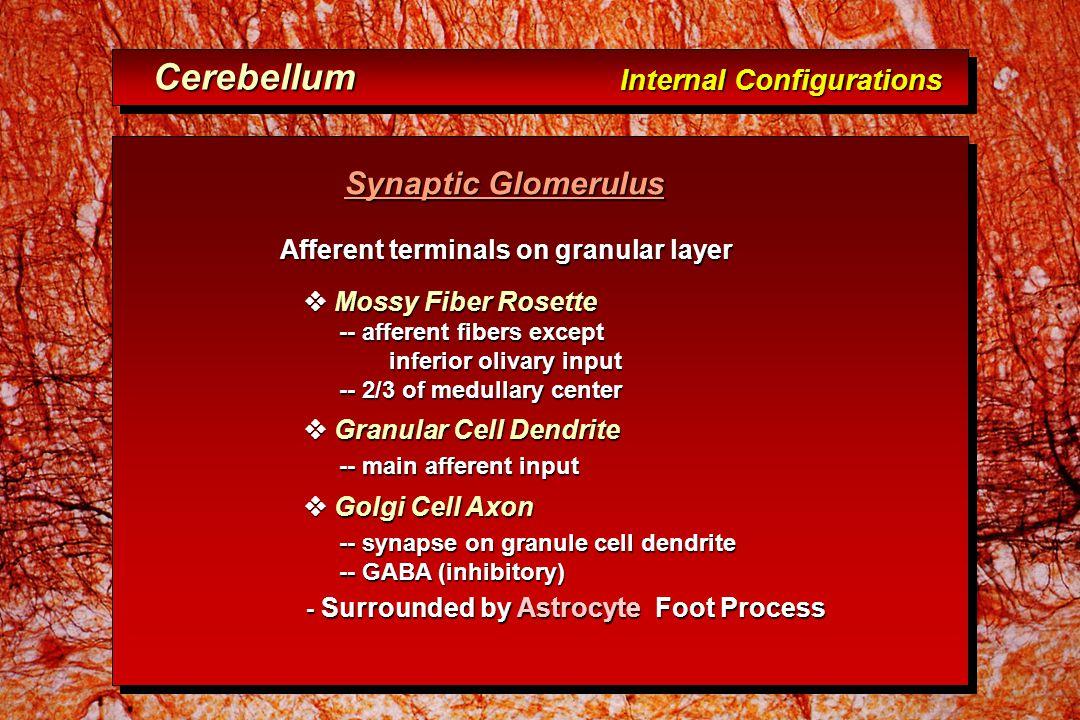Synaptic Glomerulus Synaptic Glomerulus Afferent terminals on granular layer Afferent terminals on granular layer  Mossy Fiber Rosette  Mossy Fiber Rosette -- afferent fibers except -- afferent fibers except inferior olivary input inferior olivary input -- 2/3 of medullary center -- 2/3 of medullary center  Granular Cell Dendrite  Granular Cell Dendrite -- main afferent input -- main afferent input  Golgi Cell Axon  Golgi Cell Axon -- synapse on granule cell dendrite -- synapse on granule cell dendrite -- GABA (inhibitory) -- GABA (inhibitory) - Surrounded by Astrocyte Foot Process - Surrounded by Astrocyte Foot Process Cerebellum Internal Configurations Cerebellum Internal Configurations