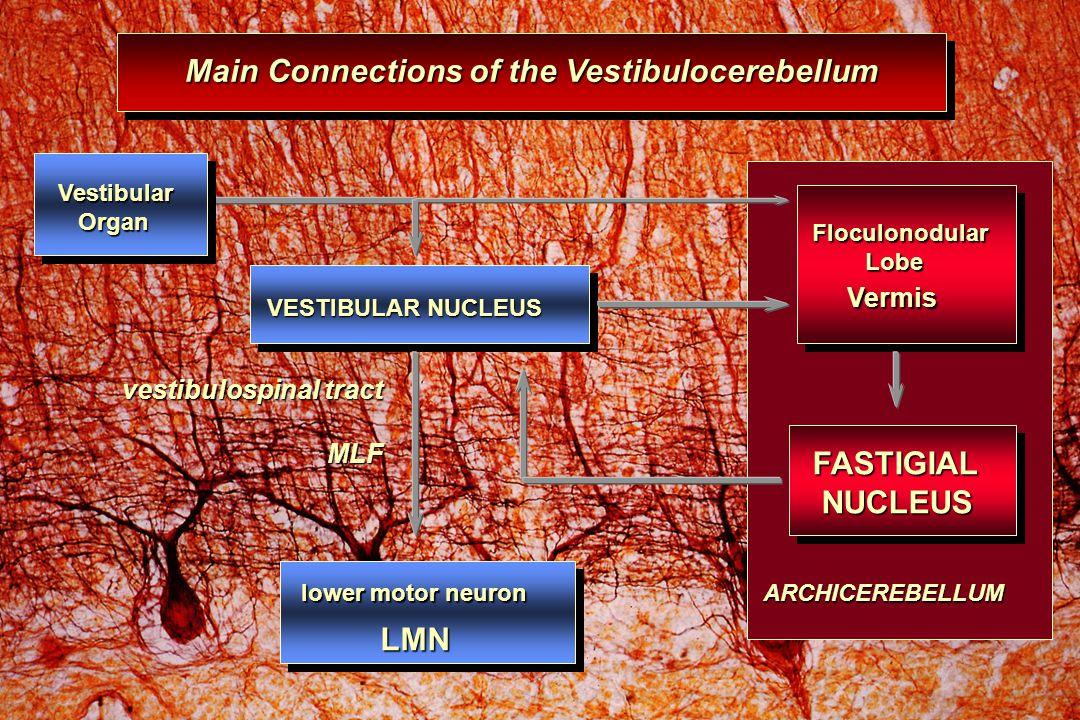 MLF Main Connections of the Vestibulocerebellum lower motor neuron lower motor neuron LMN LMN vestibulospinal tract FASTIGIAL NUCLEUS NUCLEUS Vestibular Organ Organ Floculonodular Lobe Lobe Vermis Vermis ARCHICEREBELLUM VESTIBULAR NUCLEUS