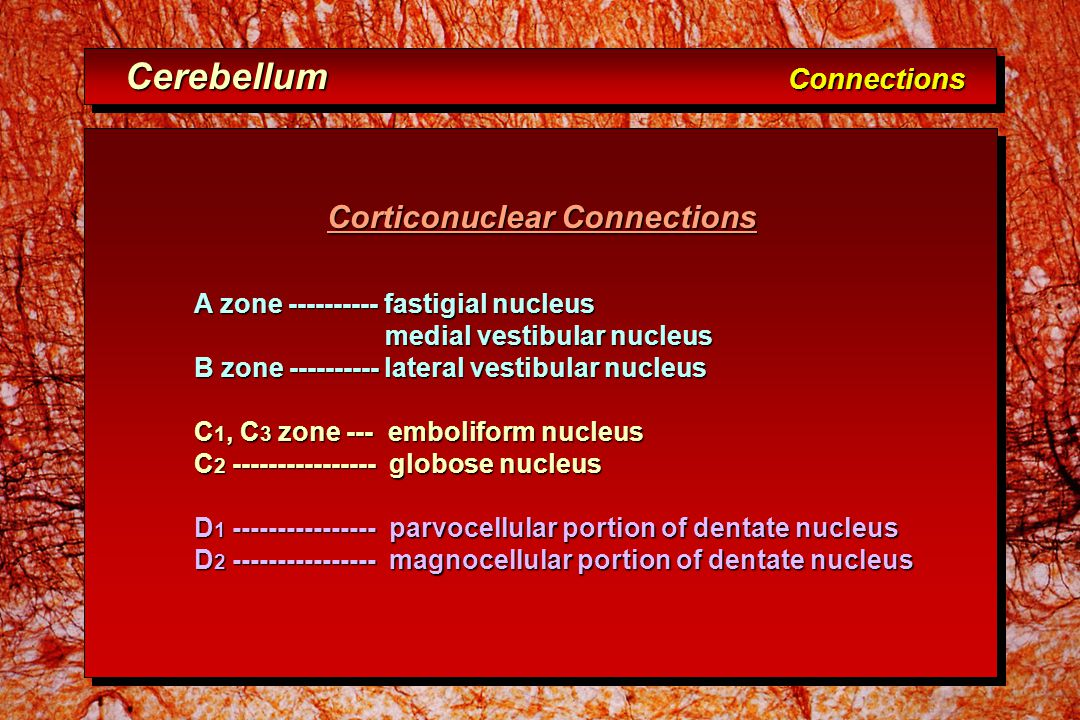 Corticonuclear Connections Corticonuclear Connections A zone ---------- fastigial nucleus medial vestibular nucleus medial vestibular nucleus B zone ---------- lateral vestibular nucleus C 1, C 3 zone --- emboliform nucleus C 2 ---------------- globose nucleus D 1 ---------------- parvocellular portion of dentate nucleus D 2 ---------------- magnocellular portion of dentate nucleus Cerebellum Connections Cerebellum Connections