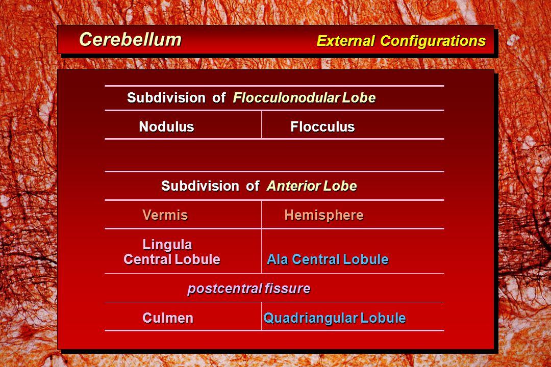 Subdivision of Flocculonodular Lobe Subdivision of Flocculonodular Lobe Nodulus Flocculus Nodulus Flocculus Subdivision of Anterior Lobe Subdivision of Anterior Lobe Vermis Hemisphere Vermis Hemisphere Lingula Lingula Central Lobule Ala Central Lobule postcentral fissure postcentral fissure Culmen Quadriangular Lobule Culmen Quadriangular Lobule Cerebellum External Configurations Cerebellum External Configurations