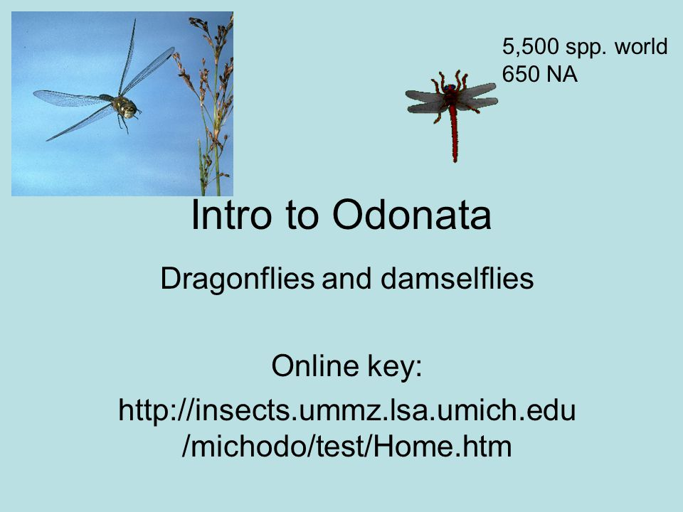 Intro to Odonata Dragonflies and damselflies Online key: http://insects.ummz.lsa.umich.edu /michodo/test/Home.htm 5,500 spp.