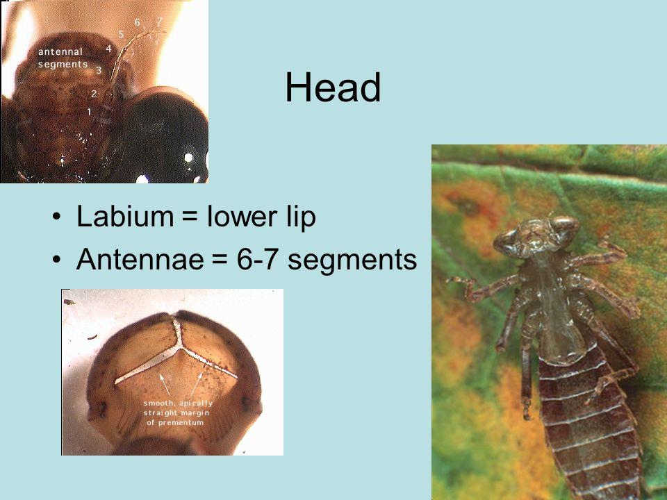 Head Labium = lower lip Antennae = 6-7 segments