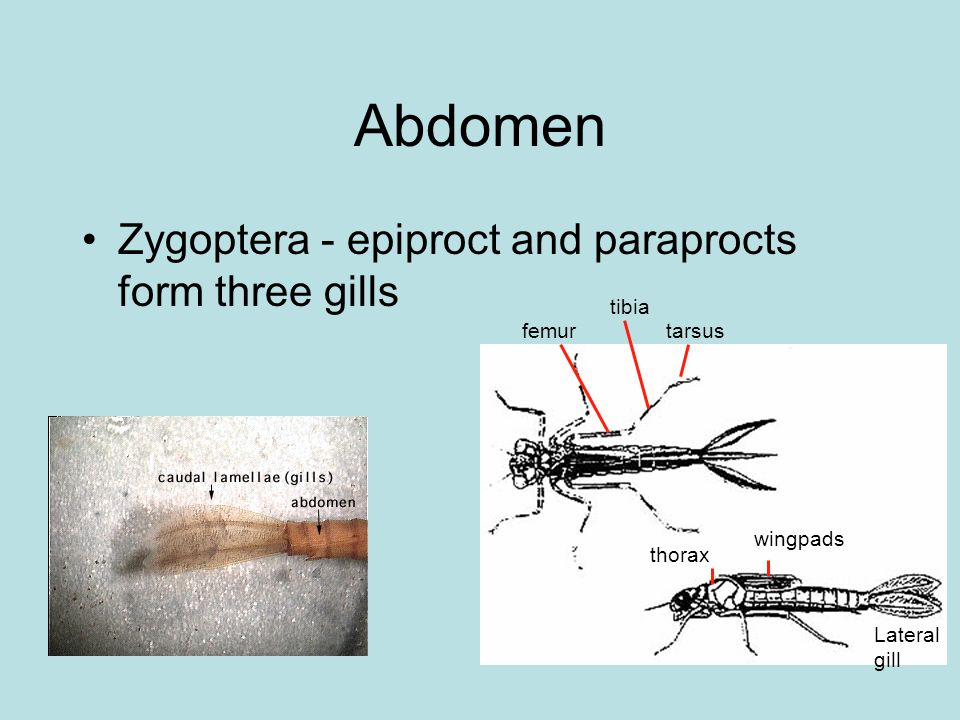 Abdomen Zygoptera - epiproct and paraprocts form three gills wingpads thorax tarsus tibia femur Lateral gill