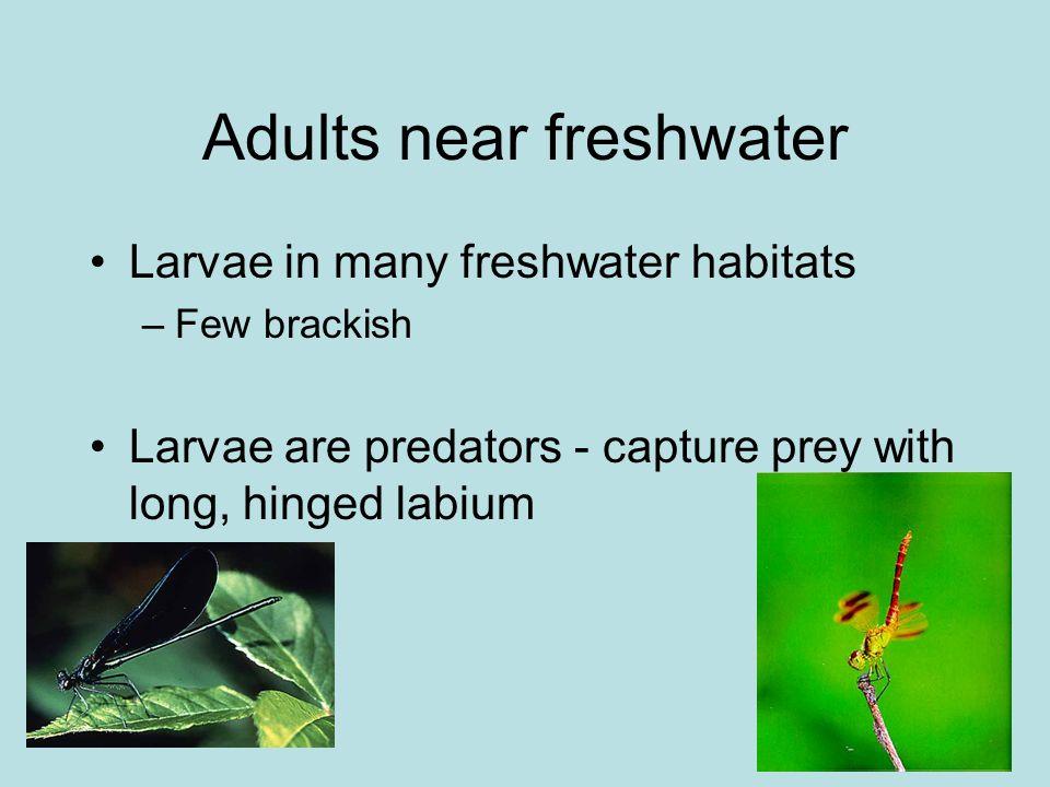 Anisoptera families Gomphidae Prementum and palpal lobes of labium flat No dorsal setae Antennae 4-segmented
